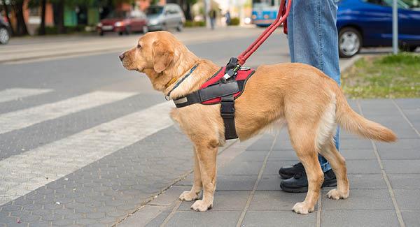 Blindenführhunde – Treue Helfer