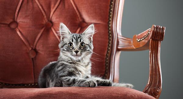Rekorde der Katzenwelt – Wer ist die Grösste der ganzen Welt?