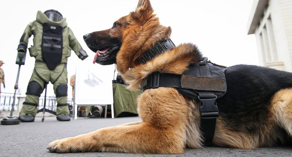 Sprengstoffhund